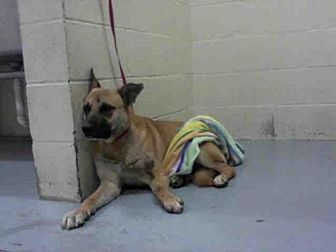 German Shepherd Dog Mix Dog for adoption in Conroe, Texas - TROOPER