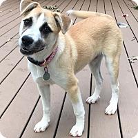 Adopt A Pet :: Allie - Knoxville, TN