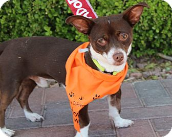 Chihuahua Mix Dog for adoption in Las Vegas, Nevada - BRUNO
