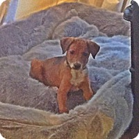 Adopt A Pet :: Honeybun - Albertville, MN
