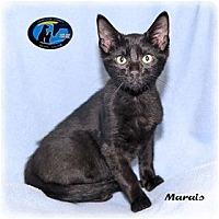 Adopt A Pet :: Marais - Howell, MI