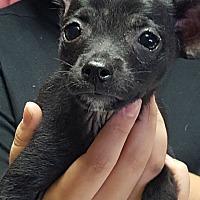 Adopt A Pet :: widmer - Yelm, WA