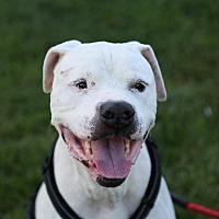 Adopt A Pet :: Buddy - St. Charles, MO