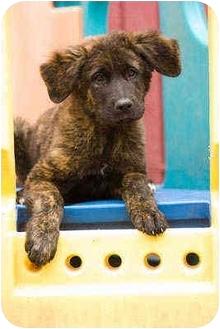 St. Bernard/Australian Shepherd Mix Puppy for adoption in Portland, Oregon - Obrian
