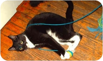 Domestic Shorthair Cat for adoption in Toronto, Ontario - Grace