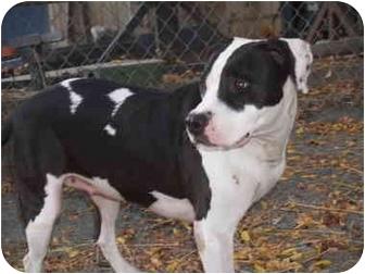 Pit Bull Terrier Mix Dog for adoption in El Cajon, California - Sara