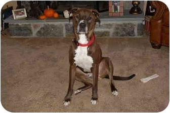 American Pit Bull Terrier Mix Dog for adoption in Reisterstown, Maryland - Pongo