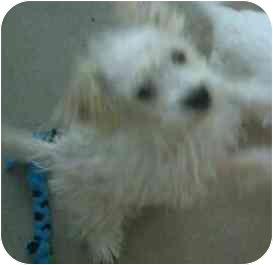 Terrier (Unknown Type, Small)/Maltese Mix Puppy for adoption in Phoenix, Arizona - Thistle