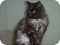 Domestic Longhair Cat for adoption in Hamburg, New York - Luther