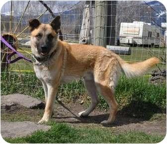 Belgian Malinois Puppy for adoption in Hamilton, Montana - Remi
