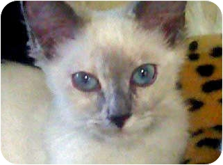 Balinese Kitten for adoption in Mandeville Canyon, California - Blue