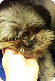 Shih Tzu Dog for adoption in Oswego, Illinois - Chewey