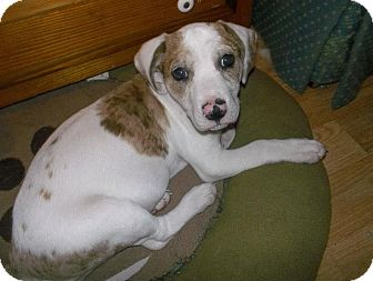 Australian Cattle Dog Mix Puppy for adoption in Shirley, New York - Pearl