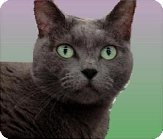 Russian Blue Cat for adoption in Sugar Land, Texas - -Nina