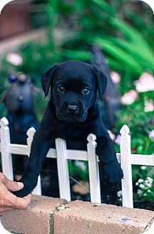 Labrador Retriever Puppy for adoption in Auburn, California - Trigger