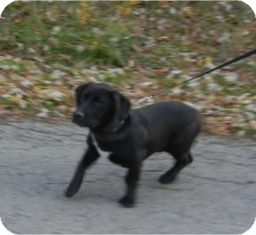 Labrador Retriever/Basset Hound Mix Dog for adoption in Antioch, Illinois - Kobe ADOPTED!!