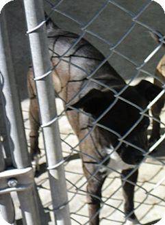 Chihuahua Mix Dog for adoption in Dublin, Georgia - Belle