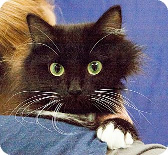 Domestic Longhair Cat for adoption in Martinsville, Indiana - Lexi