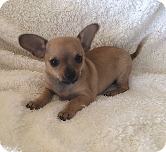Chihuahua/Pug Mix Puppy for adoption in Tustin, California - Jenny
