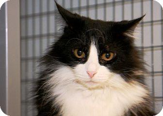Domestic Longhair Cat for adoption in Kalamazoo, Michigan - Otto