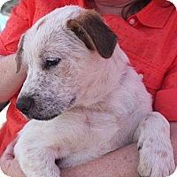 Adopt A Pet :: RANGER - Torrance, CA