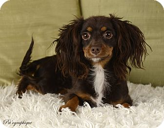 Cavalier King Charles Spaniel/Dachshund Mix Dog for adoption in Henderson, Nevada - Reagan