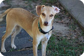 Chihuahua/Dachshund Mix Dog for adoption in Walker, Louisiana - Christopher