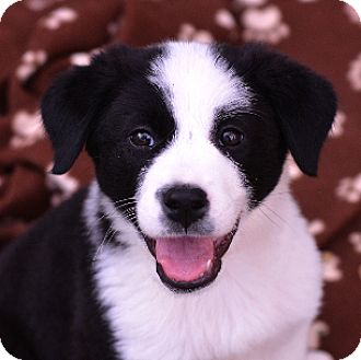 Border Collie Mix Puppy for adoption in Garland, Texas - Noel