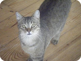 Domestic Shorthair Cat for adoption in Ortonville, Michigan - Whiskers