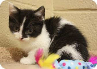 Domestic Mediumhair Kitten for adoption in West Milford, New Jersey - BOO