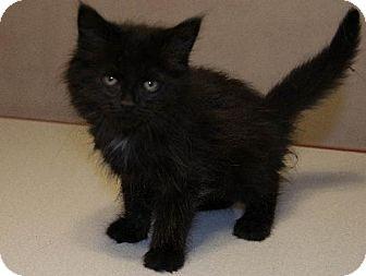 Domestic Longhair Kitten for adoption in Napoleon, Ohio - Lavinia