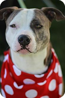 Pit Bull Terrier Mix Dog for adoption in Twin Falls, Idaho - Brock