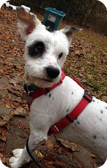 Chinese Crested/Westie, West Highland White Terrier Mix Dog for adoption in The Woodlands, Texas - Steve  (Adoption Pending!)