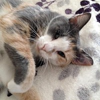 Calico Cat for adoption in Austin, Texas - Vera