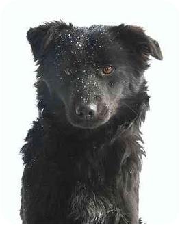 Border Collie/Sheltie, Shetland Sheepdog Mix Dog for adoption in Ladysmith, Wisconsin - D9211