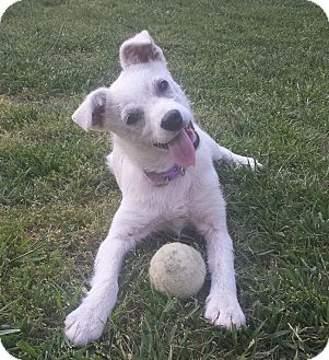Schnauzer (Standard)/Terrier (Unknown Type, Medium) Mix Puppy for adoption in Allentown, Pennsylvania - Little Bit