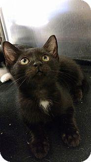 Domestic Shorthair Kitten for adoption in Bensalem, Pennsylvania - Christiana