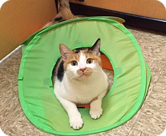 Domestic Shorthair Cat for adoption in Scottsdale, Arizona - Kitty K