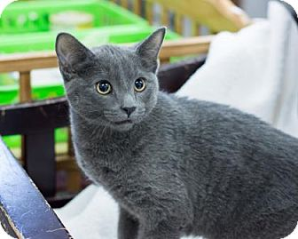 Domestic Shorthair Cat for adoption in Fountain Hills, Arizona - Sterling