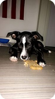 Boxer/Springer Spaniel Mix Puppy for adoption in PARSIPPANY, New Jersey - CHARLOTTE