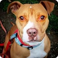 Adopt A Pet :: Stunning Sophie - Issaquah, WA