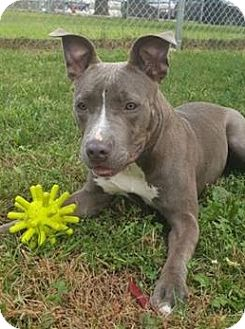 American Staffordshire Terrier/American Pit Bull Terrier Mix Dog for adoption in Lowell, Indiana - Monroe