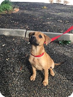 Black Mouth Cur/German Shepherd Dog Mix Puppy for adoption in Spring, Texas - Zoey