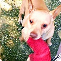 Adopt A Pet :: Guapo - Beverly Hills, CA
