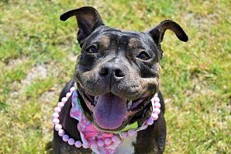 Staffordshire Bull Terrier Mix Dog for adoption in Virginia Beach, Virginia - 1611-0729 Little Birdie (Off-Site Foster)