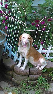 Beagle Mix Dog for adoption in North Creek, New York - Rosie Chocolate Beagle
