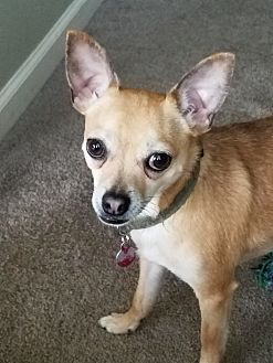 Chihuahua Mix Dog for adoption in Howell, Michigan - Miggy
