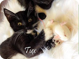 Domestic Shorthair Kitten for adoption in Modesto, California - Tux