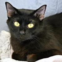 Domestic Shorthair/Domestic Shorthair Mix Cat for adoption in Vinton, Iowa - Kenzi