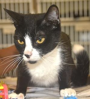 Domestic Shorthair/Domestic Shorthair Mix Cat for adoption in St. Thomas, Virgin Islands - TIPSY